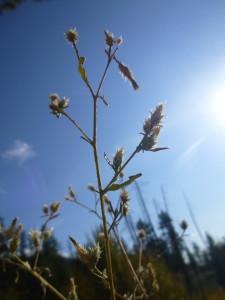 skaha grass