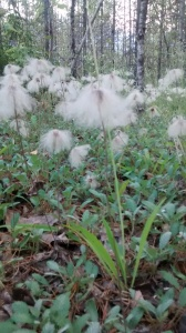 dandelions, revelstoke, trail run