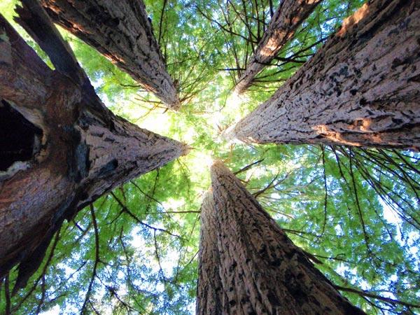 skyline to sea trail, california, redwoods, trees, hiking, nature