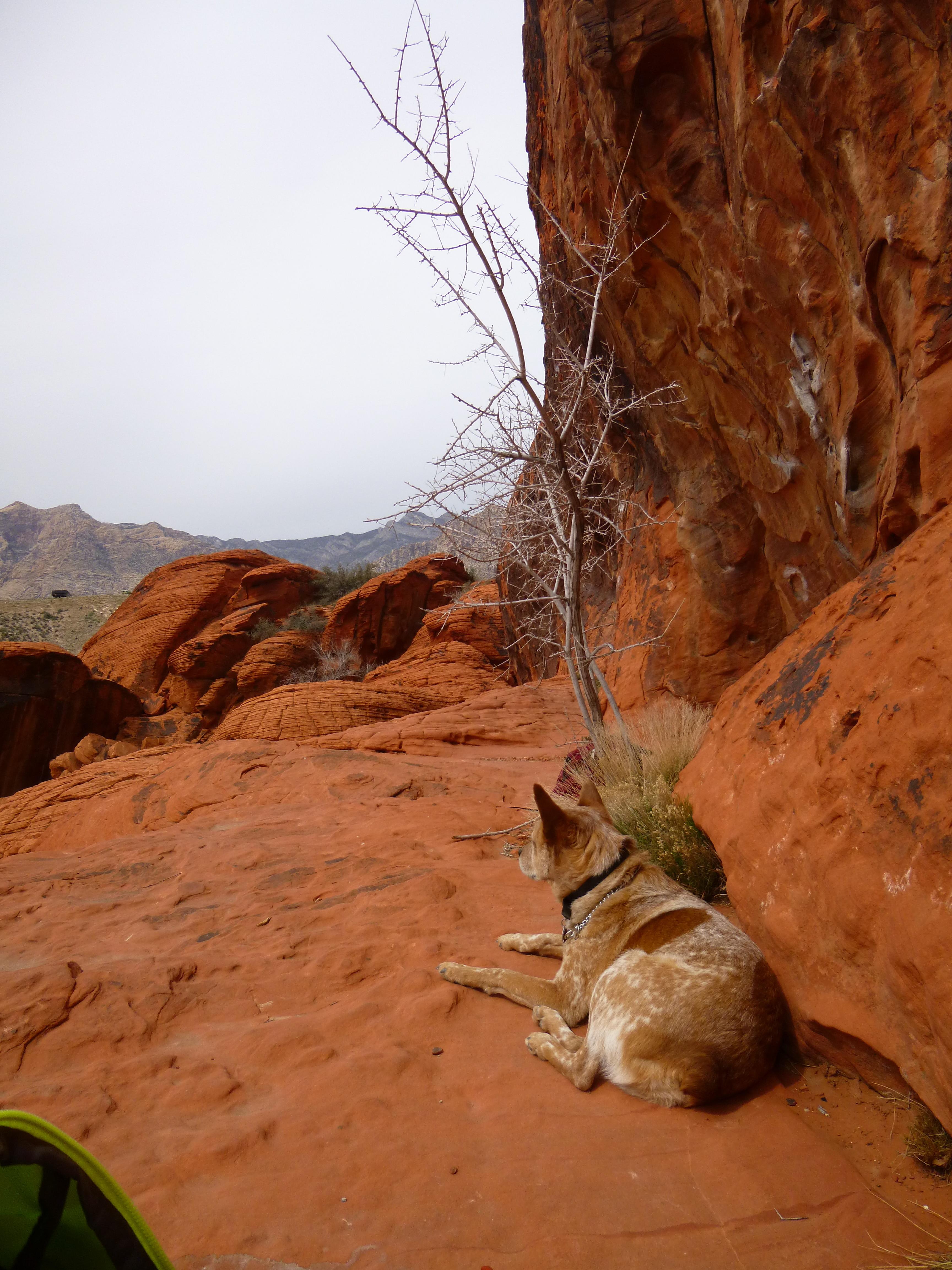 red rocks, nevada, crag dog, climbing